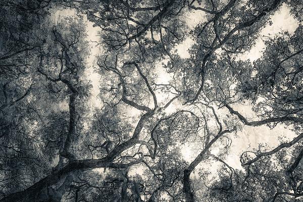 Oak Grove Canopy #4, B&W