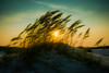 Sun Through Reeds #1