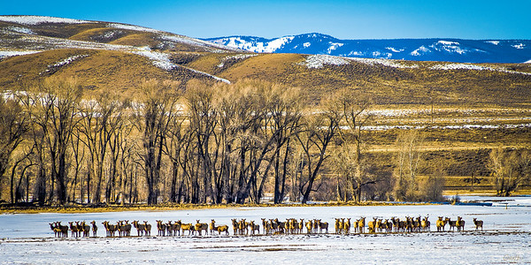 Attentive Elk Herd
