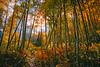 Backlit Aspens & Underbrush