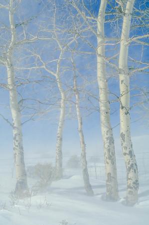 Wind Blown Snow Blankets the Aspens