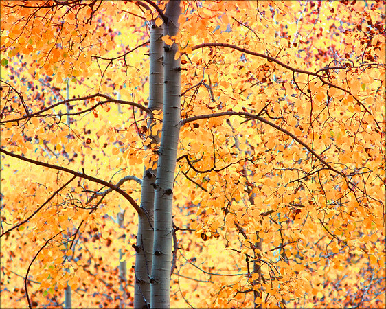 Golden Aspen Tree