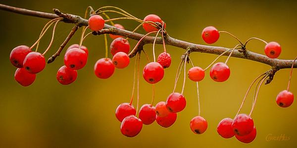 Berries on a Limb