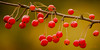Berries on a Limb