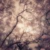 Oak Grove Canopy #11, Dreamy Texture