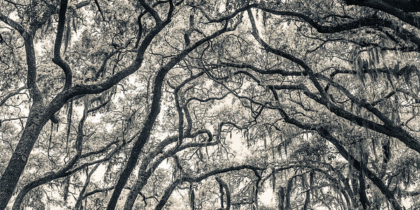 Oak Grove Canopy #1, Split Tone