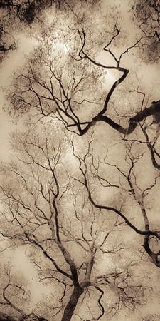Oak Grove Canopy #17, Brown
