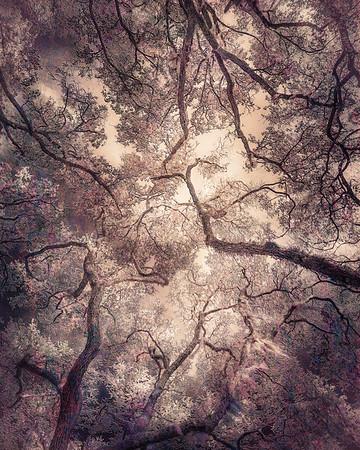 Oak Grove Canopy #5, Dreamy Texture