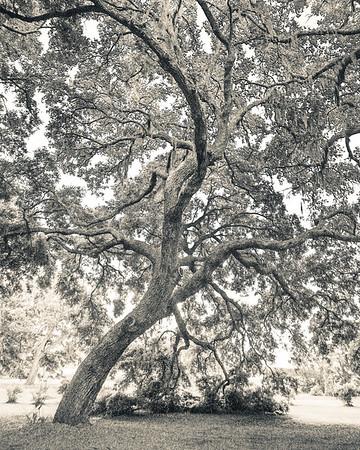 Oak Portrait #2, Split Tone