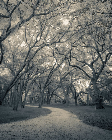 Sandy Road Through the Oak Grove, Monochrome