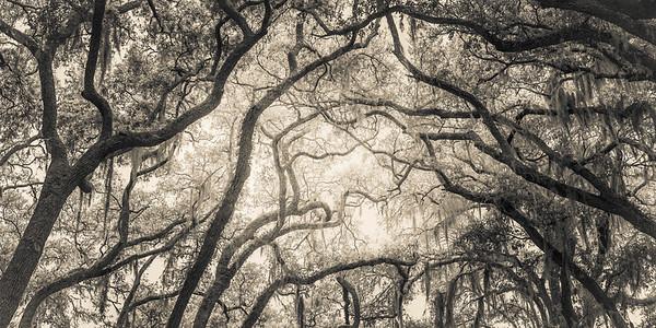 Oak Grove Canopy #1, Sepia