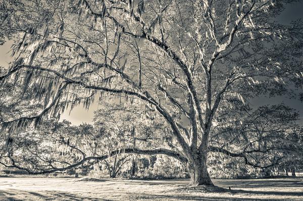 Big Oak Portrait #4, Split Tone