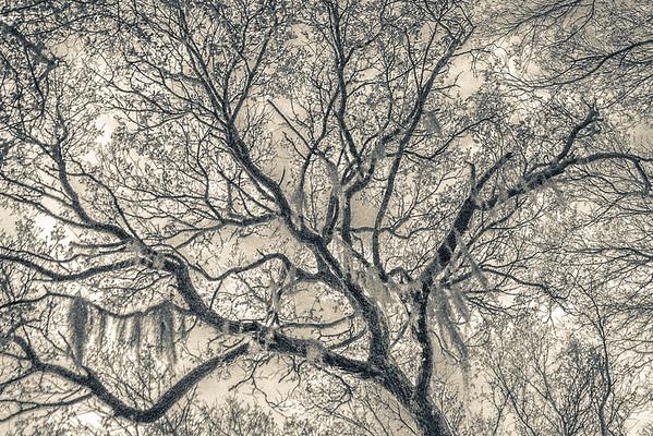 Oak Grove Canopy #6,  Split Tone