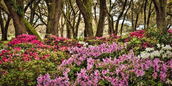 Azaleas and Oaks #3