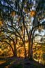 Glowing Spanish Moss