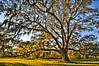 Big Oak Portrait #1