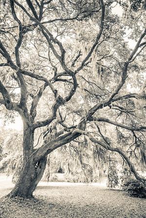 Oak Portrait #3, Split Tone