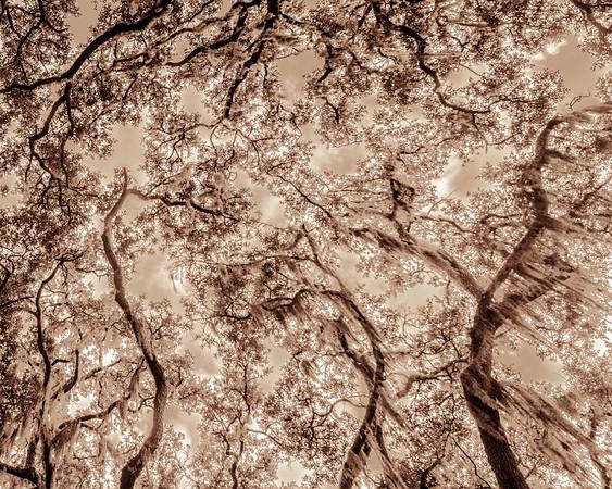 Oak Grove Canopy #18, Sparkling Sepia