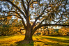 Big Oak Portrait #2