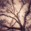 Oak Grove Canopy #2,  Dreamy Texture
