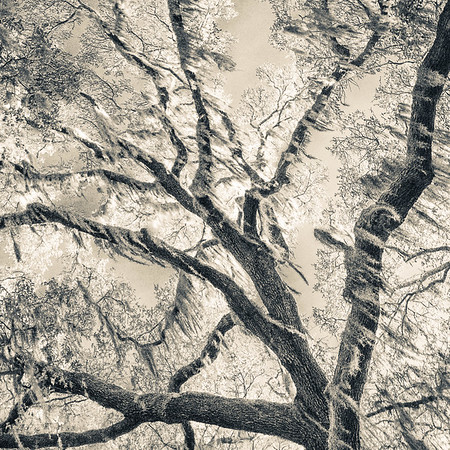 Oak Grove Canopy #2,  Split Tone