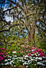 Azaleas and Oaks #2