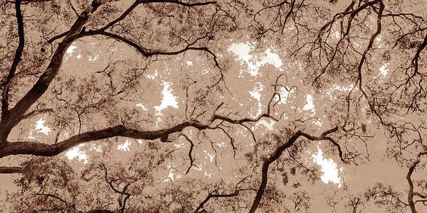 Oak Grove Canopy #3, Graphic Sepia