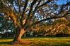 Big Oak Portrait #3