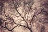 Oak Grove Canopy #6, Dreamy  Texture
