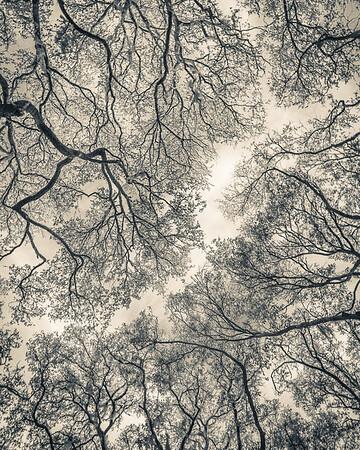 Oak Grove Canopy #8,  Split Tone