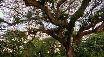 Rain tree at Raffles Terrace, fern and other epiphytes are growing on its branches