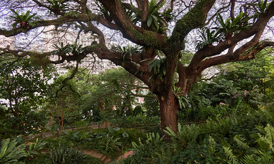 One of the Heritage Trees in Fort Canning Park. This one is a rain tree (samanea saman) and is located at Raffles Terrace.