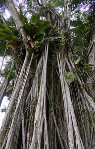 Banyan Tree, near Sally Point in Fort Canning Park