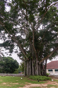 Banyan Tree in Fort Canning Park, near Sally Point