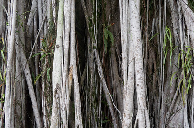 Detail of the air roots of the Banyan Tree