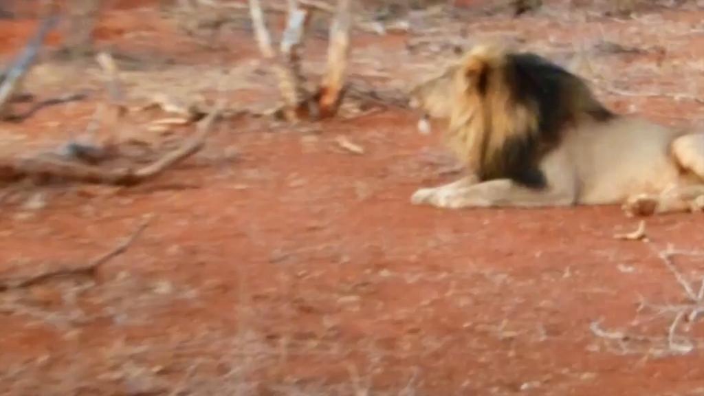 Male Lion Calling