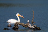 A lone white pelican hangs out on Lake Del Valle near Livermore in late April 2012.