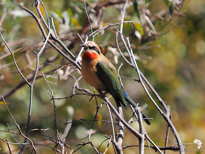 White Fronted Bee-eater 2