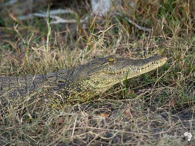 Zambezi Crocodile 1
