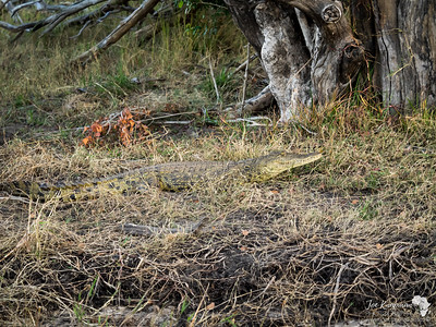 Zambezi Crocodile 2