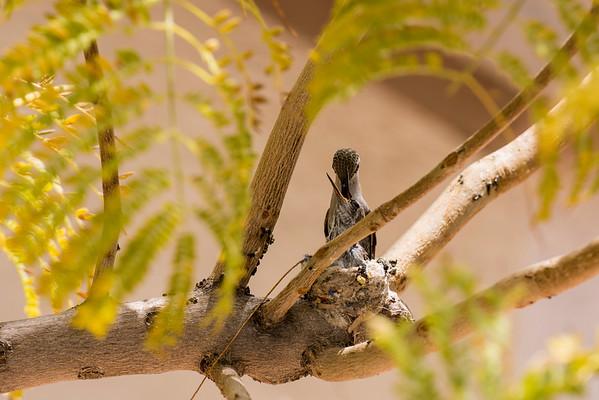 Hummingbirds - 9Apr2018