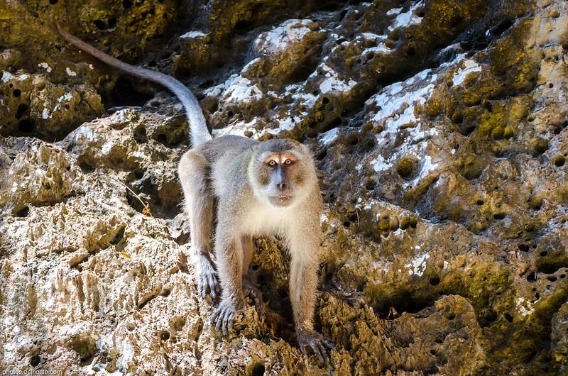 Macaca Fascicularis in Thalane Bay (Thaïland)