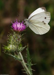 Le Chardon et le Papillon