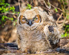 Juvenille Great Horned Owl