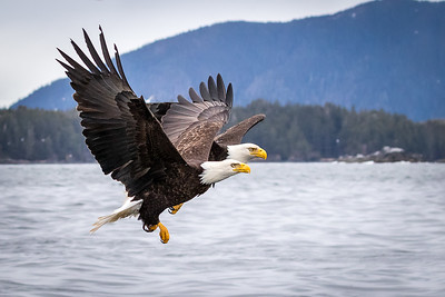 Bald Eagles, Sitka Sound, AK