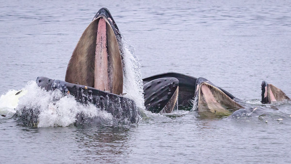 Humpback whales catching herring, Sitka Sound, AK