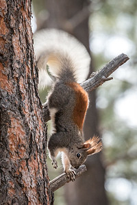 Kaibab Squirrels, Kaibab Nat'l Forest