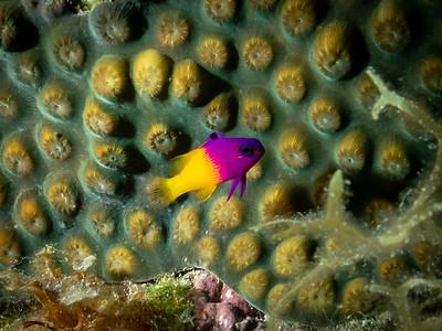 Royal Gramma (Fairy Basslet), Bahamas