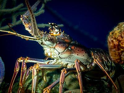 Caribbean Spiny Lobster, Bahamas