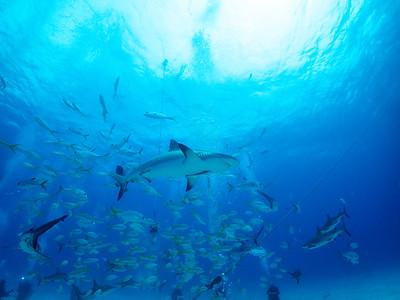 Shark Feeding, Caribbean Reef Sharks, Bahamas